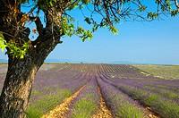 France Provence-Alpes-Côte d´Azur, Alpes-de-Haute-Provence Valensole Lavendar Fields