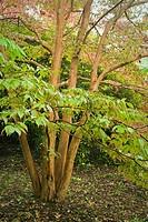 Orangebark Stewartia, autumn Stewartia monadelpha