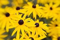 ´Goldsturm´ Black-eyed Susans soft focus effect Rudbeckia fulgida var sullivantii ´Goldsturm´