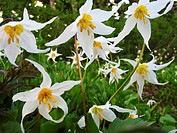 Avalanche Lilies on Alta Vista Trail, Mt. Rainier National Park, Washington state, US