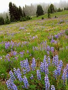 Field of Subalpine Lupine, Sourdough Ridge Trail, Mt. Rainier National Park, Washington state, US