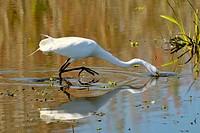 Great White Heron at the Circle B Bar Reserve Environmental Nature Center Lakeland Florida Polk County U S