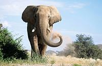Desert Elephants from Namibia
