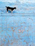 Goat, Varanasi, Uttar Pradesh, India