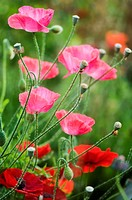 Pink and Red Corn Poppy Flowers, Buds and Seedheads, Green Background