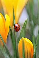 Seven spot ladybird  climbs a leaf in midst of yellow crocus. Coccinella septempunctata The beetle has raindrops glistening on her back from an overni...