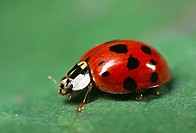 Ladybug-Beetle