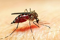Mosquito-biting-1