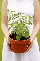 Sweet plant (Stevia rebaudiana)