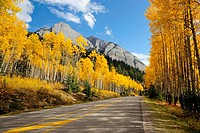 Autumn aspens along the Bow Valley Parkway