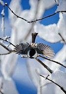 Black capped chickadee Parus atricapillus Perching in snow covered lilac bush