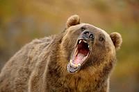 Grizzly bear Ursus arctos- captive snarling