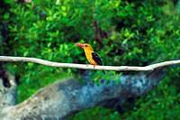 Bird, Ganges Delta, Sundarbans, Bangladesh