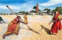 Rice harvesting, women at work, Sylhet, Bangladesh