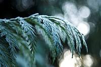 Close-up of frosty fir tree branch