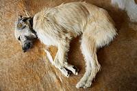 Dog asleep on cowhide rug