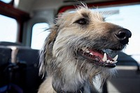 Close-up of dog in the back of a car