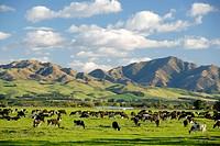 Dairy farming Culverden North Canterbury New Zealand