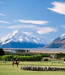 Musterer moving a mob of sheep at Glentanner Station Aoraki / Mt Cook in background Mackenzie country New Zealand