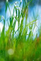 Green grass against blue sky, close-up