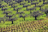 Olive tree groves vineyards farms agriculture Agrigento Province Sicily Italy