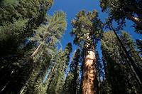 USA, California, Sequoia National Park, General Sherman Tree Largest tree in the world