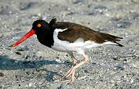 An American Oyster Catcher, haematopus palliatus  treads carefully across sand and shells, New Jersey, USA