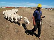 Shepherd with flock of sheeps. Zamora province, Castilla-Leon, Spain