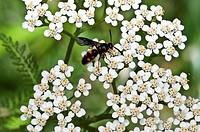 Scoliid Wasp Feeding on Yarrow