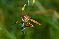 Bearded Robber Fly Eating Bluet Damselfly