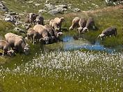 Sheep, Col de la Croix de Fer, Savoie, France
