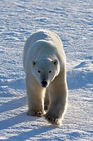 Polar Bear (Ursus maritimus), Churchill, Canada (November 2005)
