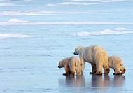 Polar Bear (Ursus maritimus) with cubs, Churchill, Canada (November 2005)