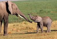 Baby Elephant Loxodonta africana walking with mother