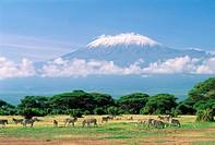 Herd of Grant´s Zebras with Mount Kilimanjaro in background, Amboseli National Park, Kenya