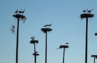 Storks on nests. Caceres province. Extremadura. Spain