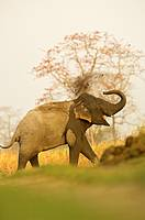 Asian Elephant (Elephas maximus) at Kaziranga National Park, Assam, India