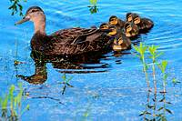 a mother black duck with a brood of ducklings behind