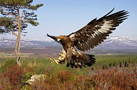 Golden Eagle  Aquila chrysaetos  in flight in mountain habitat preparing to land on stump taken in controlled conditions  Scotland  March 2007