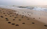 Olive Ridley Hatchlings mooving towards sea
