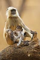Mother feeding infant langur