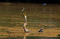 Darter taking fish