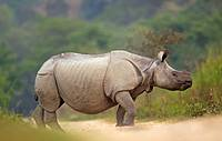 Asian One-horned Rhinoceros Rhinoceros unicornis crossing the road