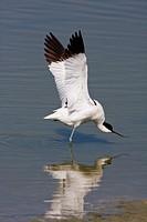 Avocet Recurvirostra avosetta doing a wing stretch Titchfield Haven Hampshire
