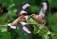 Hawfinch Coccothraustes coccothraustes - 2 birds fighting over food