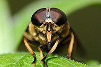 Tabanus sudeticus, the largest British Horsefly, Wales.
