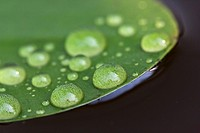 Early morning dewdrops on lily pads