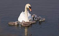 Mute Swan Cygnus olor with young chicks Titchfield Haven Hampshire