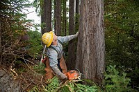 Fort Bragg, California - Logging of redwoods in northern California  Timber faller Gary Roach cuts a tree with his chainsaw