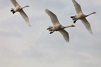 Whooper swans Cygnus cygnus returning to their breeding areas in northern Sweden in spring  Västernorrland, Sweden